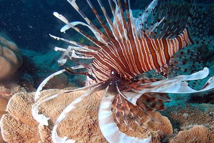 Lionfish, Great Barrier Reef Marine Park