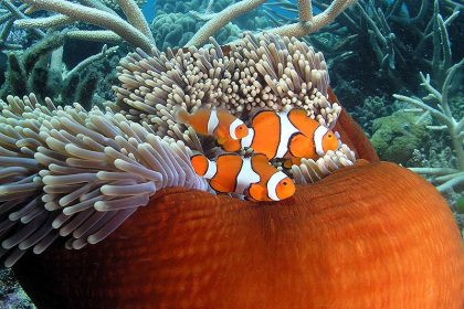 Clownfish or 'Nemo', Great Barrier Reef