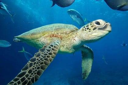 Turtle, Great Barrier Reef Marine Park